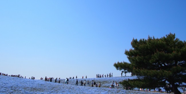 ひたち海浜公園 ネモフィラの丘