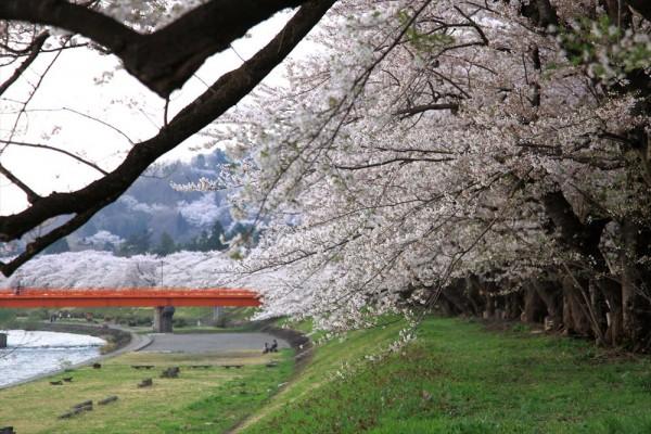 秋田県 角館 桧木内川堤の桜